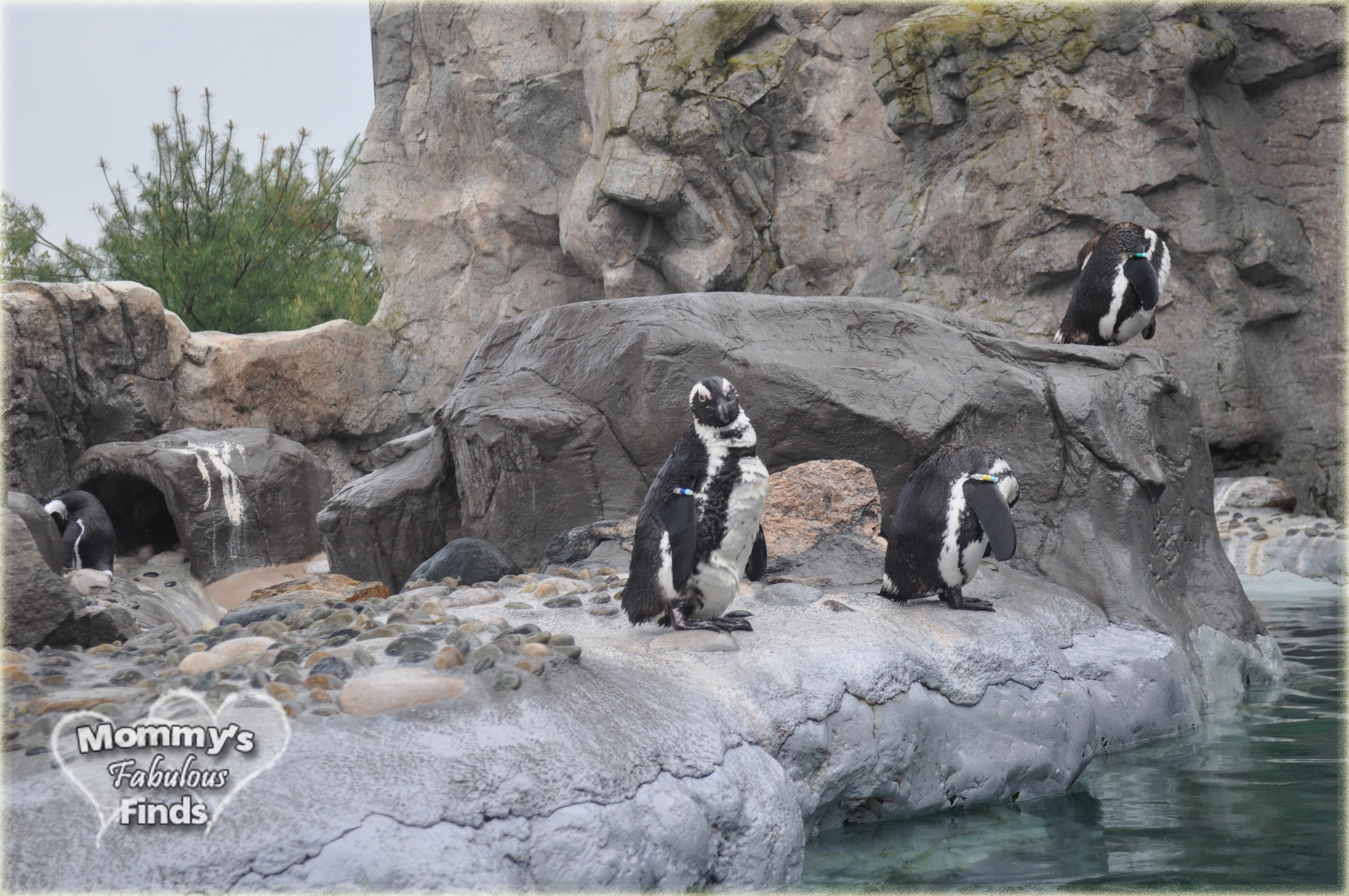 mystic aquarium penguins