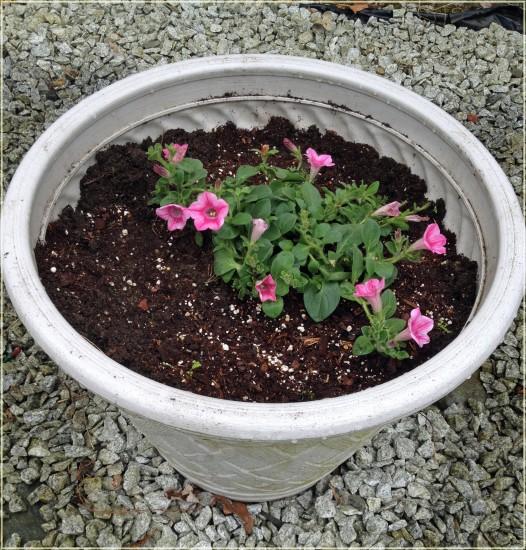 Miracle-Gro Flowering Plants - spreading petunias