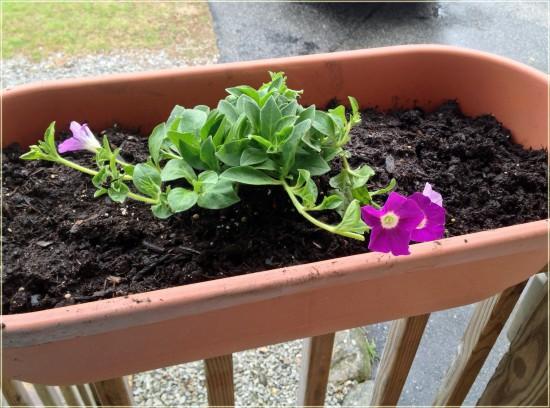 miracle-gro spreading petunias