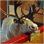 reindeer Santa's Village