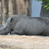 rhino at detroit zoo