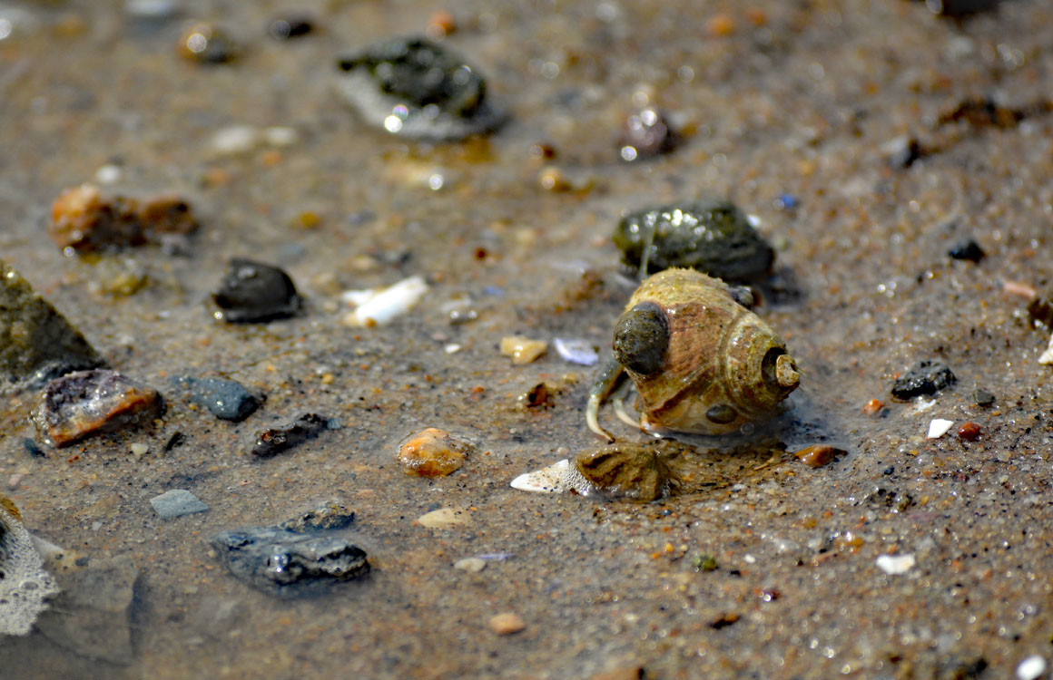 cape cod hermit crab